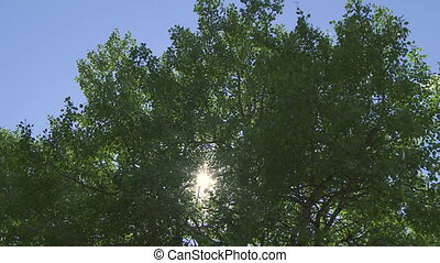 Sun and Aspen Poplars 07 - Sun shining through leaves and...