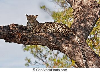 Leopard lying in a tree
