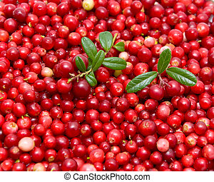ripe cranberries - ripe and juicy cranberries close-up