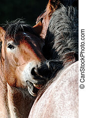 two horses - Scene of tenderness between two horses