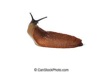 Spanish Slug - Macro of big Spanish Slug (Arion vulgaris)...