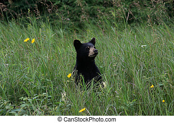 American Black Bear #1 - Black bear cub in tall green grass...