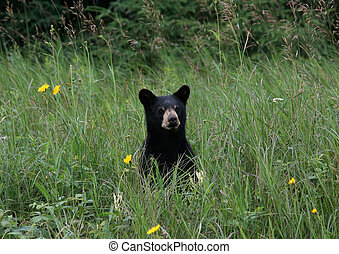 American Black Bear Cub 2 - Black Bear cub sitting in tall...