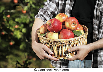 Apple Harvest - Farmer holding a wicker basket full of...