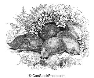 Hedgehogs in their spring clothing. Engraving from The Penny...