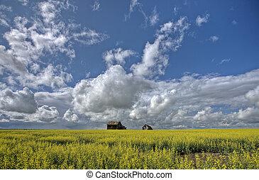 Canola Crop Canada and Red Barn Saskatchewan