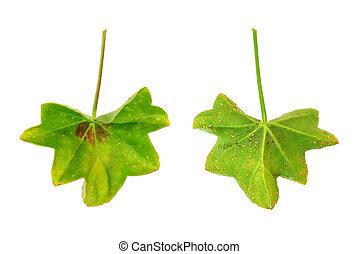 Diseased leaf of  Pelargonium peltatum