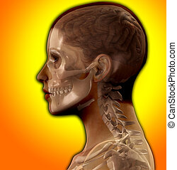 Head X Ray - X Ray image of the inside of a womens head.