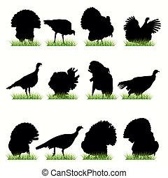 火雞, 黑色半面畫像, 集合