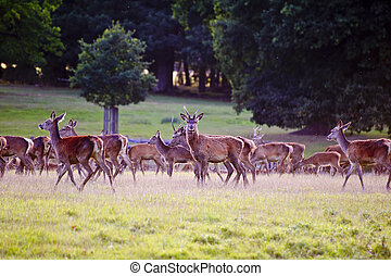 Herd of red deer stags and hinds during rut season in Autumn Fall