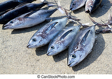 Albacore tuna fish Thunnus Alalunga catch in fishing tourney...