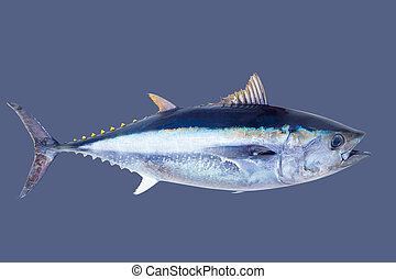 Bluefin tuna Thunnus thynnus saltwater fish islated on gray