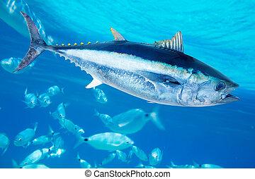 Bluefin, Atún, Thunnus, thynnus, agua salada, pez