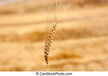 cereal spike in wheat golden field - alone cereal spike in...