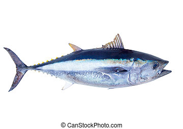 Bluefin tuna Thunnus thynnus saltwater fish isolated on...