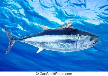 Bluefin tuna Thunnus thynnus saltwater fish underwater blue...