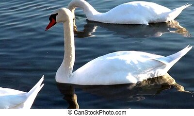 A flock of white swans in the river
