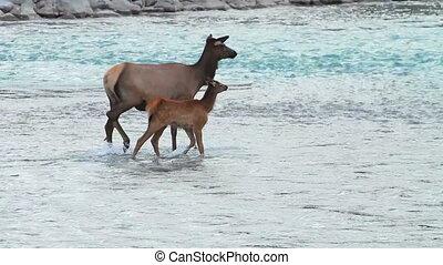 Elk with Calf 01