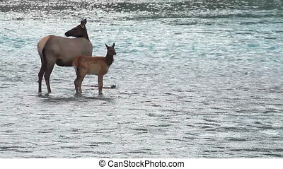 Elk with Calf 02 - Elk with Calf in river water