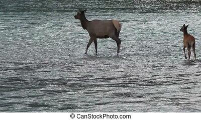 Elk with Calf 03