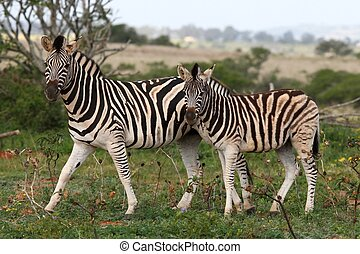 Zebras - Mother Burchells or Plains zebra with her sub adult...