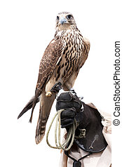 a falcon on handlers hand - Falcons close up portrait on...