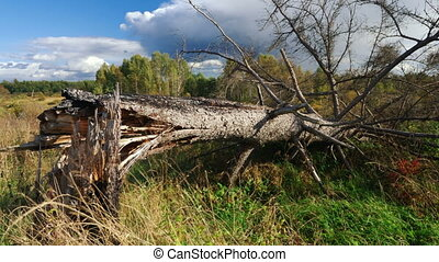 Fallen pine tree - Fallen tree after a strong wind,...