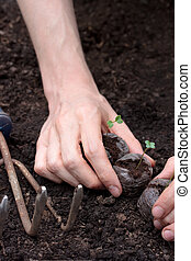 Planting young plants in soil