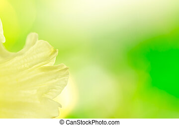 Abstract daffodil background - Abstract yellow daffodil on...