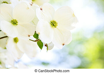 White dogwood flower - Beautiful white dogwood flower in...