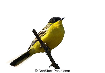 Yellow Wagtail isolated on white background, Motacilla flava...