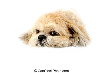 Cute Lhasa Apso - Image of a very cute Lhasa with puppy eyes...