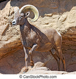 Big Ram - Desert Bighorn Sheep striking an impressive  pose