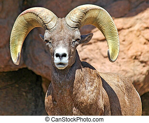 Desert Ram - Desert Bighorn Sheep With an intense gaze