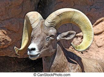 Bighorn Sheep Ram - Desert Bighorn Sheep