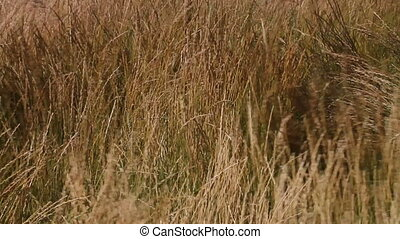Wind in the prairie grass 03