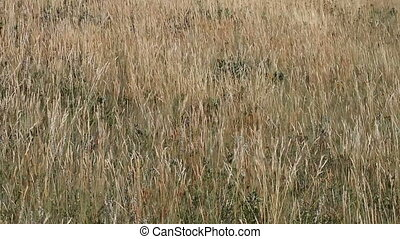 Wind in the prairie grass 04