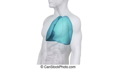 Male LUNGS  medical scan in white
