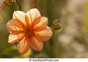 Dahlia under the sun, green background