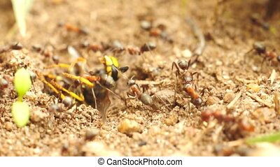 Red Ants carry a big bug