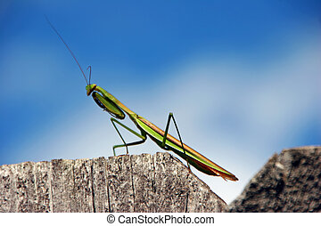 praying mantis - green predatory praying mantis insect on...