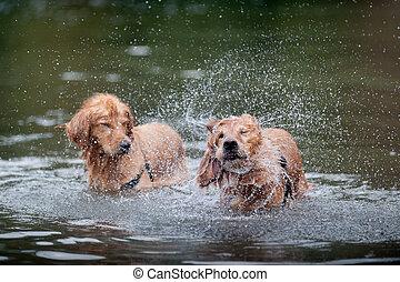 Golden Retriever shakes in water - A golden retriever shakes...