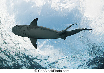 Underview of a tiger shark swimming in clear water, Bahamas