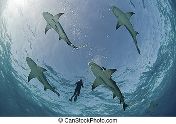 Flight of the lemon sharks - Underneath view of diver...