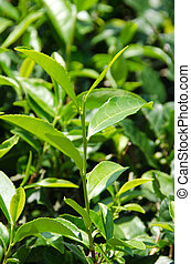 Japanese green tea plant - Closeup of fresh green tea leaves...