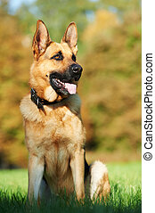 one German Shepherd Dog