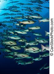 Fish fusion - A school of snapper fish exploring the ocean,...