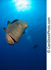 Nosy Napoleon Wrasse - Napoleon Wrasse swimming around, Red...