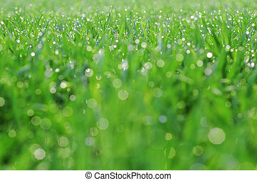 Morning dew drop at wheat field