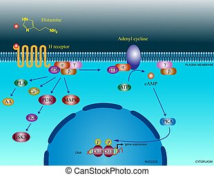 Histamine molecular pathways - Illustration of the basic...